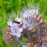 Bueschelschoen Bluete hellblau Phacelia tanacetifolia 04