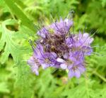 Bueschelschoen Bluete hellblau Phacelia tanacetifolia 05