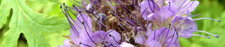 bueschelschoen-bienenfreund-bluete-hellblau-phacelia-tanacetifolia