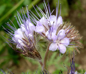 Bueschelschoen Bluete hellblau Phacelia tanacetifolia 07