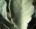 Bild: Bulgarien Königskerze Rosette grün Verbascum delphicum
