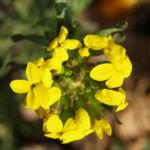 Bulgarisches Schlauch Blasenschoetchen Bluete gelb Alyssoides utriculata 03