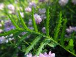 Bunte Kronwicke Blatt gruen Coronilla varia 01