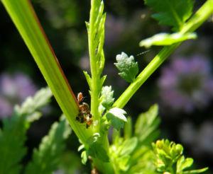Bunte Kronwicke Blatt gruen Coronilla varia 06