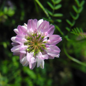 Bunte Kronwicke Bluete rose Coronilla varia 01