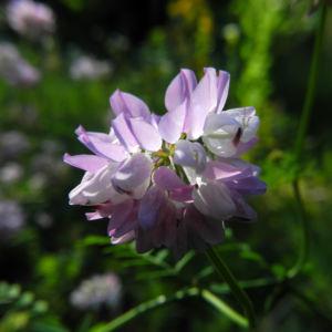 Bunte Kronwicke Bluete rose Coronilla varia 02