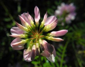 Bunte Kronwicke Bluete rose Coronilla varia 05