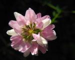 Bunte Kronwicke Bluete rose Coronilla varia 18