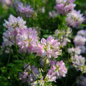 Bunte Kronwicke Bluete rose Coronilla varia 21