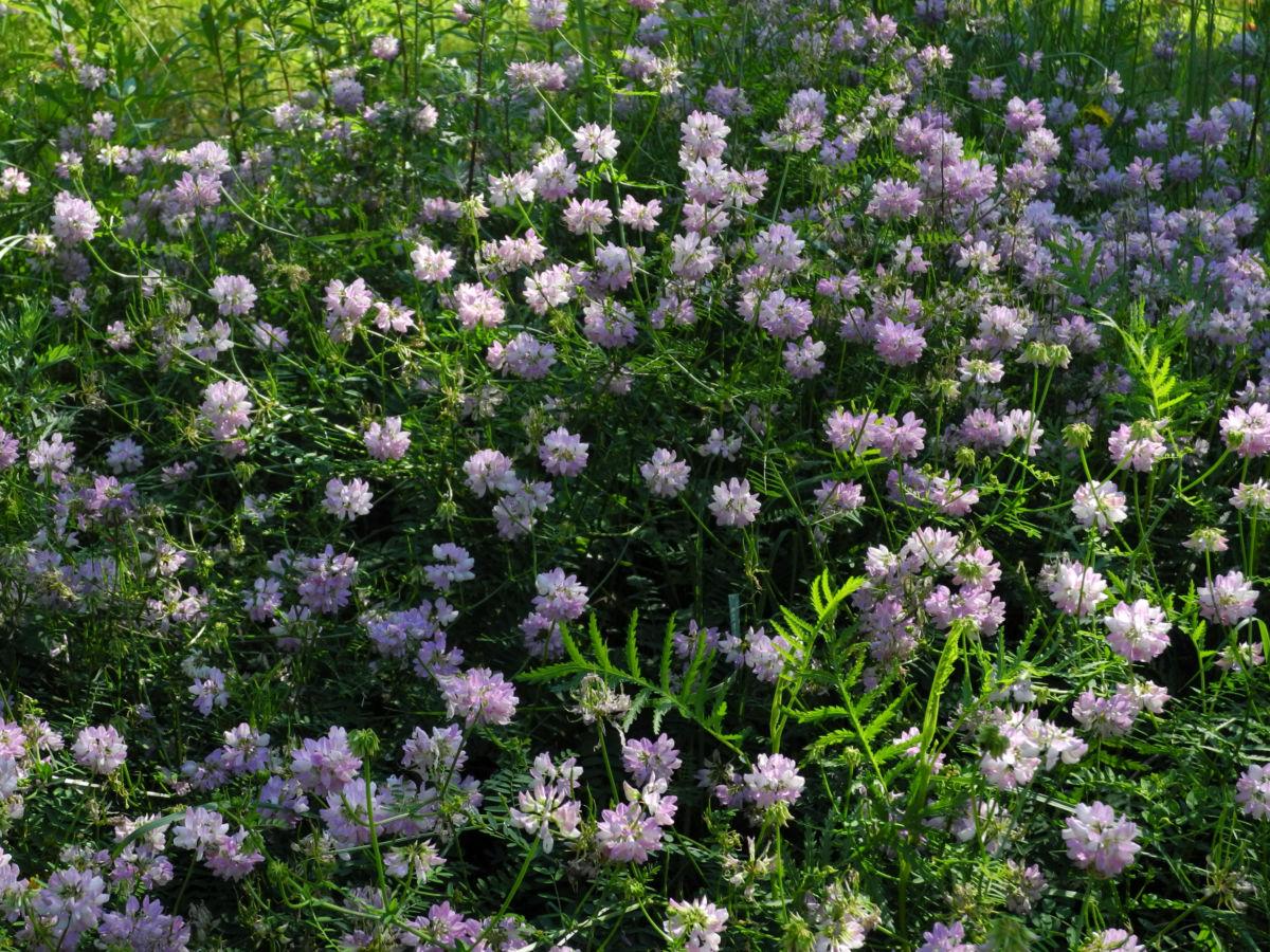 Bunte Kronwicke Bluete rose Coronilla varia