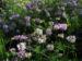 Zurück zum kompletten Bilderset Bunte Kronwicke Blüte rose Coronilla varia