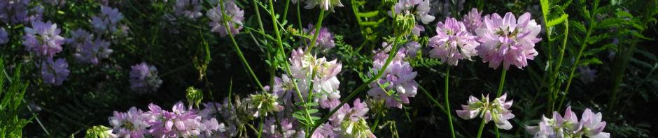 Anklicken um das ganze Bild zu sehen  Bunte Kronwicke Blüte rose Coronilla varia