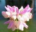 Zurück zum kompletten Bilderset Bunte Kronwicke Blüte weißrosa Securigera varia