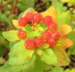Bunte Wolfsmilch Scheinbluete rot Euphorbia polychroma 01