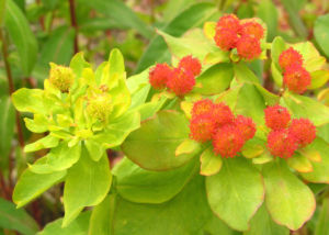 Bunte Wolfsmilch Scheinbluete rot Euphorbia polychroma 02