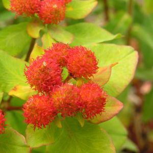 Bunte Wolfsmilch Scheinbluete rot Euphorbia polychroma 03