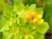 Zurück zum kompletten Bilderset Bunte Wolfsmilch Scheinblüte rot Euphorbia polychroma
