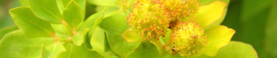 Anklicken um das ganze Bild zu sehen Bunte Wolfsmilch Scheinblüte rot Euphorbia polychroma