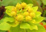 Bunte Wolfsmilch Scheinbluete rot Euphorbia polychroma 06