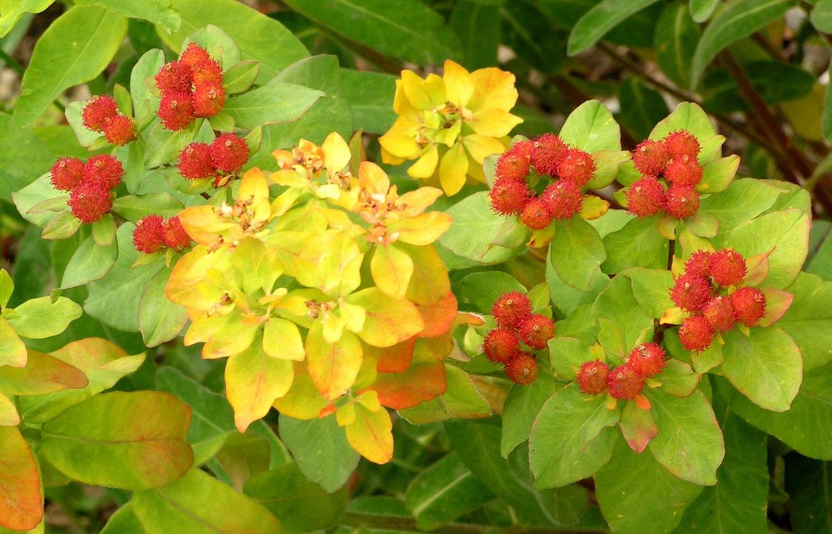Bunte Wolfsmilch Scheinbluete rot Euphorbia polychroma