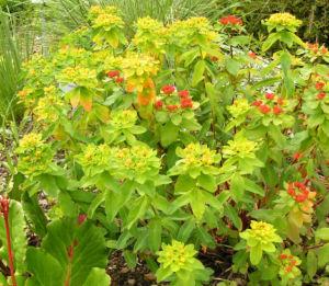 Bunte Wolfsmilch Scheinbluete rot Euphorbia polychroma 08