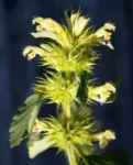 Bunter Hohlzahn Bluete gelb lila Galeopsis speciosa 03