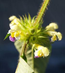 Bunter Hohlzahn Bluete gelb lila Galeopsis speciosa 05