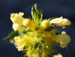 Bunter Hohlzahn Bluete gelb lila Galeopsis speciosa 06
