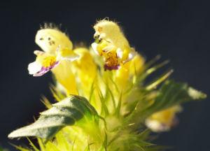 Bunter Hohlzahn Bluete gelb lila Galeopsis speciosa 07