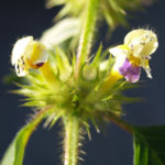 Bunter Hohlzahn Bluete gelb lila Galeopsis speciosa 08