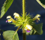 Bunter Hohlzahn Bluete gelb lila Galeopsis speciosa 09