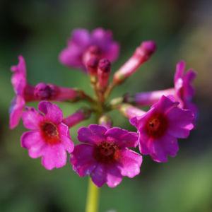 Burma Schluesselblume Bluete purpur Primula burmanica 01