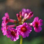 Burma Schluesselblume Bluete purpur Primula burmanica 05