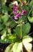 Zurück zum kompletten Bilderset Burma-Schlüsselblume Blüte purpur Primula burmanica