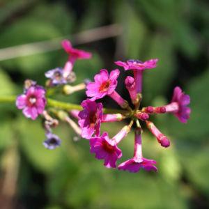 Burma Schluesselblume Bluete purpur Primula burmanica 08