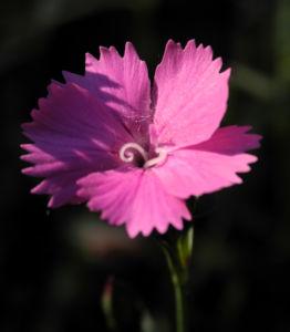 Busch Nelke Bluete pink Dianthus seguieri 01