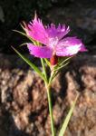 Busch Nelke Bluete pink Dianthus seguieri 02