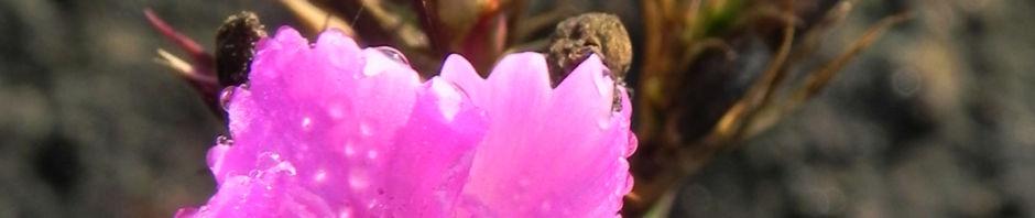 busch-nelke-bluete-pink-dianthus-seguieri