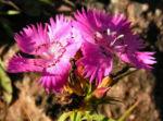 Busch Nelke Bluete pink Dianthus seguieri 03