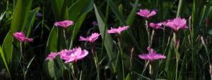 Busch Nelke Bluete pink Dianthus seguieri 04