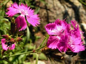 Busch Nelke Bluete pink Dianthus seguieri 05