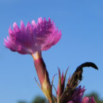 Busch Nelke Bluete pink Dianthus seguieri 05 1