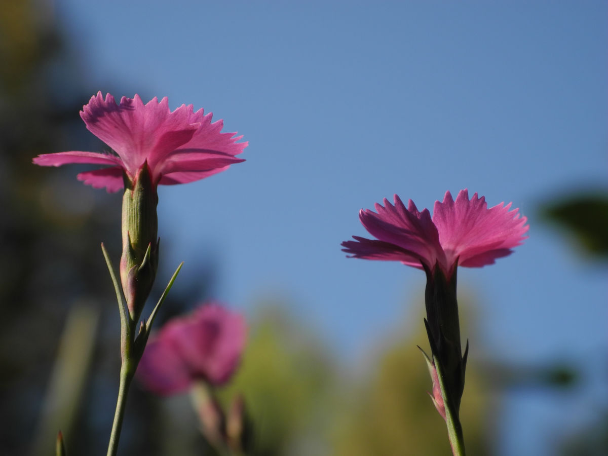 Busch Nelke Bluete pink Dianthus seguieri