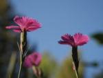 Bild:  Busch-Nelke Blüte pink Dianthus seguieri