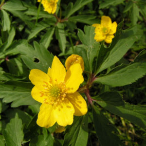 Buschwindroeschen Bluete gelb Anemone ranunculoides 01