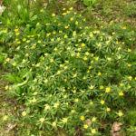 Buschwindroeschen Bluete gelb Anemone ranunculoides 02