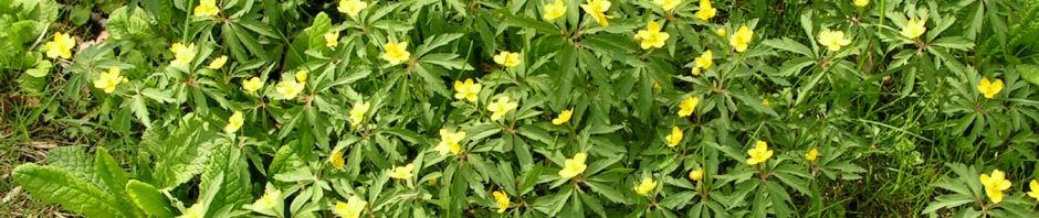 gelbes-windroeschen-bluete-gelb-anemone-ranunculoides