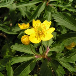 Buschwindroeschen Bluete gelb Anemone ranunculoides 03