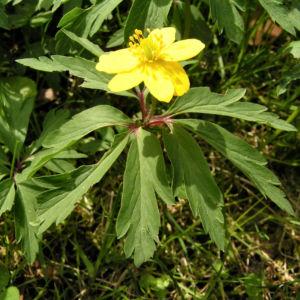 Buschwindroeschen Bluete gelb Anemone ranunculoides 04