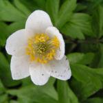 Buschwindroeschen Bluete weiss Anemone nemorosa 04